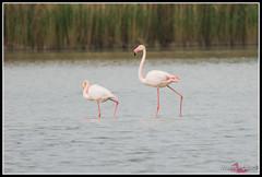 DSC_7581 (torben84) Tags: lake bird birds lago nikon rosa uccelli firenze tamron phoenicopterusroseus avifauna laje aereoporto fenicotteri phoenicopterus roseus fenicottero migrazione peretola 150600 d7200