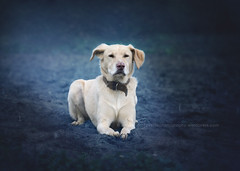 Ares, the sphinx dog (alessandrafavetto) Tags: blue dog pet pets color dogs horizontal sphinx outdoors esfinge fantasy dogphotography petphotography dogportrait petphotographer dogphotographer