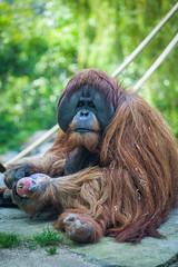 What are you looking at? (mpakarlsson) Tags: california usa tree green animal hair fur pumpkin zoo monkey sitting dof sandiego bokeh outdoor eating orangutan ape staring 70200 5dmarkii 5dii 5dm2 5dmark2
