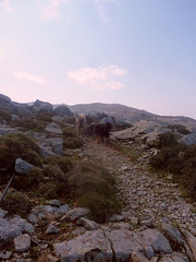 Ikaria's remotest hinterland 46 - our quadruped companions (angeloska) Tags: dogs march ikaria aegean greece pezi hinterland hikingtrails   langada    vrakades  opsikarias