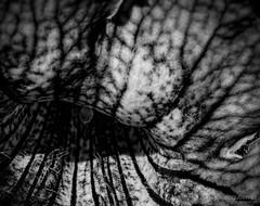 Welcome to the Tunnel (gjaviergutierrezb) Tags: flowers blackandwhite bw white abstract black flores flower blancoynegro blackwhite negro tunnel abstracto monocromático profundidad