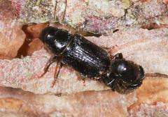 Mating Bark Beetles (Prank F) Tags: macro nature closeup insect wildlife sandy beetle bark mating thelodge rspb bedfordshireuk