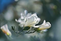 White Magnolia  (lfeng1014) Tags: light macro closeup spring dof bokeh depthoffield magnolia pure purity macrophotography whitemagnolia lifeng  canon5dmarkiii 100mmf28lmacroisusm