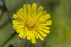Macro_La Tossa 077 (jomendro) Tags: macro planta animals flor natura plantes macrofotografa abelles latossademontbui