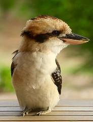 The masked bandit (alideniese) Tags: bird wildlife australia melbourne victoria kookaburra dacelonovaeguineae laughingkookaburra