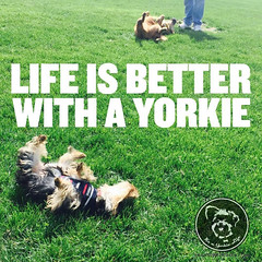 Id never trade it. Click LOVE if you agree (itsayorkielife) Tags: yorkie quote yorkshireterrier yorkiememe