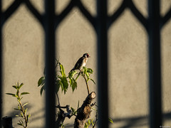 Desde la jaula 2. (Luicabe) Tags: naturaleza animal exterior zoom ngc ave luis zamora cabello pjaro profundidaddecampo airelibre jilguero vertebrado pjaro yarat1 enazamorado luicabe