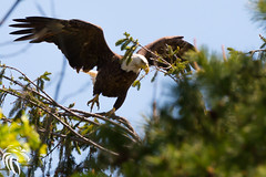 Bald Eagles of Shark River | 2016 - 97 (RGL_Photography) Tags: nature birds us newjersey unitedstates eagle wildlife baldeagle birdsinflight monmouthcounty godblessamerica jerseyshore ornithology mothernature raptors haliaeetusleucocephalus birdsofprey gardenstate bif americanbaldeagle walltownship wildlifephotography sharkriver nikond610 nikonafs200500mmf56eedvr