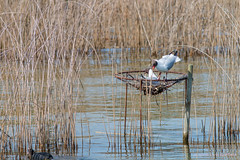 Black-headed gulls in nest (foto99) Tags: water female reeds switzerland pier spring wire nest loop brooding coot rapperswil blackheadedgull dispute