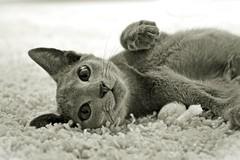 Russian Blue kitten, 4 months (umoilanen) Tags: blackandwhite cats monochrome animal cat kitten feline bnw russianblue