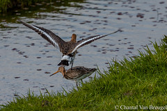grutto's (Chantal van Breugel) Tags: vogels marken vogel noordholland nationale canon70300 grutto canon50d