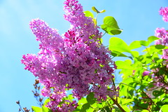 Blooming Lilac in Munich (ragingwire) Tags: germany munich lilac