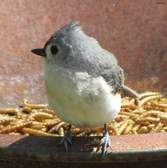 Lunch (Lisa Zins) Tags: bird tn tennessee wildlife titmouse tufted birdwatching tuftedtitmouse mealworms birdsoftennessee lisazins