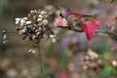 Dwarf Oak-leaf Hydrangea (Fiddling Bob) Tags: winter gardens northcarolina hydrangea dukegardens