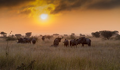 Wildebeest at dawn (Sheldrickfalls) Tags: southafrica dawn krugernationalpark mpumalanga krugerpark wildebeest kruger satara bluewildebeest sataracamp krugersunrise