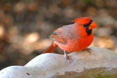 Northern Cardinal (LilTexican) Tags: birds lifelist wildlife texasbirds
