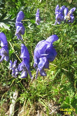 Monkshood (Heiterwang) (davidshort) Tags: wildflowers monkshood 2015