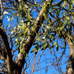 szerencsehozó fagyöngy / lucky mistletoe (debreczeniemoke) Tags: winter plant tree forest evergreen luck mistletoe fa mistle növény tél erdő szerencse viscumalbum hemiparasitic fagyöngy europeanmistletoe örökzöld commonmistletoe fehérfagyöngy félélősködő olympusem5