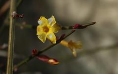jasmin jaune (bulbocode909) Tags: nature fleurs jaune rouge branches hiver jasmin