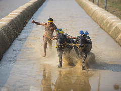 _D756335 (The Ranzi) Tags: india motion sports water dedication race speed cow buffalo action bull freeze watersports custom panning southindia sportsphotography actionphotography buffalorace kambala fastpanning