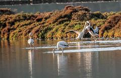 Toma poicotazo (ibzsierra) Tags: parque bird canon natural flamingo salinas ibiza ave 7d eivissa pelea oiseau flamenco baleares brona picotazo 100400isusm