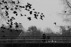 birds, for real (IcarusBlue) Tags: bridge cyclist group flight jackdaws