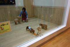 DSC07983 (yukichinoko) Tags: dog dachshund 犬 kinako ダックスフント ダックスフンド きなこ