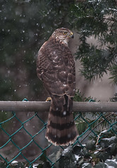 That Raptor Stare (martytdx) Tags: winter birds backyard lifelist hawk nj raptor birdofprey coopershawk haddonfield accipiter accipitercooperii accipitridae immaure