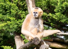 White cheeked gibbon 271215 03 (Leigh James (Fidgitydigit)) Tags: primate gibbon whitecheekedgibbon zoodelaflechefrancezoo
