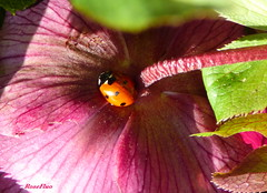 Surprise of a sunny february (Rose Fluo) Tags: flowers fleurs garden jardin insects ladybird ladybug hellebore coccinelle