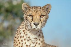 Good Morning World (ClaudiB.) Tags: nature tiere nikon wildlife wildanimal cheetah 1001nights cheetahs gepard geparden 1001nightsmagiccity nikond7100
