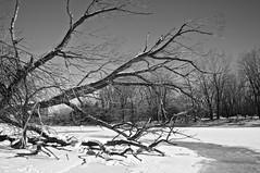Prisonnier des glaces/The Monster (bob august) Tags: winter bw snow canada tree ice nature blackwhite nikon montréal noiretblanc hiver québec neige janvier arbre glace ahuntsic 2016 d90 montréal nikkor1735mm nikond90 parcdeliledelavisitation aperture3 rivièredesprairies ©2016rpdaoust