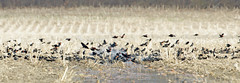 Red-winged Blackbirds by Steve Gifford (Steve Gifford - IN) Tags: red nature station river photo wildlife steve flock picture indiana national photograph steven winged society blackbird blackbirds refuge audubon gifford redwinged ias montys haubstadt patoka