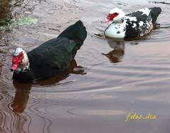 Patos (fotos_ilca) Tags: portugal birds lago ducks pssaros patos barreiro 2016 matadamachada fotosilca