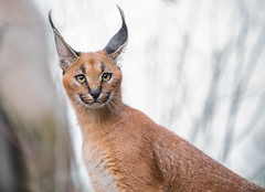 I'm All Ears (masonmarsh) Tags: oregon portland zoo caracal