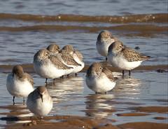 Dunlin (Peanut1371) Tags: brown white bird beach birds waders dunlin wader nationalgeographicwildlife