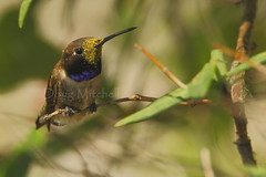 Black-chinned hummingbird (Doug Mitchell Photography) Tags: bird nature canon hummingbird wildlife pollen naturephotography centraltexas blackchinnedhummingbird birdphotography wildlifephotography canonextenderef14xii canon500mmf4 canon7d dougmitchellphotography