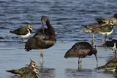 _HNS6899 Zwarte Ibis : Ibis falcinelle : Plegadis falcinellus : Brauner Sichler : Glossy Ibis