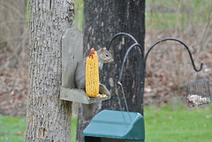 He is so happy to eat corn. (mom and pops1) Tags: natureinwinter