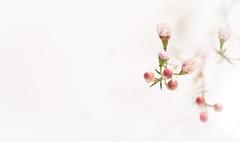 Cerinthe (Infomastern) Tags: pink white flower blomma highkey minimalism geolocation cerinthe vaxblomma geocity camera:make=canon exif:make=canon exif:focallength=100mm geocountry geostate exif:lens=ef100mmf28lmacroisusm fotosondag exif:aperture=28 exif:isospeed=2500 camera:model=canoneos760d exif:model=canoneos760d fs160207