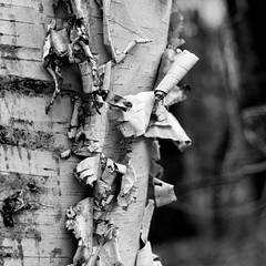 Bark (lclower19) Tags: bw white black tree texture nature closeup square bark birch promptaddicts