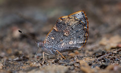 Butterfly Haematera pyrame (Almir Cndido de Almeida) Tags: rain forest butterfly do atlantic sp borboleta serra floresta mata atlantica jundiai japi pyrame haematera