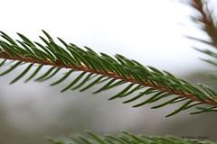Steigerwald (Klaus R. aus O.) Tags: canon bayern ast natur baum wandern rinde steigerwald nadelbaum laubbaum 650d