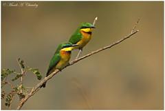 Mr & Mrs B! (MAC's Wild Pixels) Tags: bird kenya ngc npc birdwatcher beeeater beautifulbird littlebeeeater mrmrsb colourfulbird birdsofeastafrica maasaimaragamereserve macswildpixels