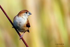 Indian Silverbill (Amit Shankar Pal) Tags: bird birds hyderabad amit indiansilverbill wwwamitshankarpalcom amitshankarpal