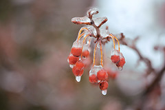 Iced Berries (lfeng1014) Tags: macro closeup spring dof bokeh depthoffield icicles freezingrain icedtree redberries icecrystal macrophotography lifeng icedberries canon5dmarkiii 100mmf28lmacroisusm redwildberries iceglazedtrees