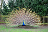 Peacock Feathers (AmboTRON) Tags: park holland bird nature tail peacock hollandpark peacocktail peacocktrain nikond5100 peacockshow