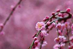 -6 (nobuflickr) Tags: flower nature japan kyoto         prunusmumeformpendula jounanguushrine 20160226dsc00154