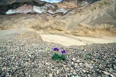 """Together"" (helmet13) Tags: nature flora raw desert artistspalette desertflower aoi deathvalleynationalpark phaceliacrenulata peaceaward heartaward d800e"