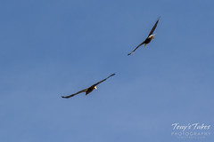 Bald Eagles battle for breakfast - Sequence - 9 of 42